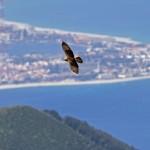 """MUSE: """"La migrazione dei rapaci attraverso il Mediterraneo"""" Mercoledì 7 giugno"""