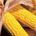 OGM E RICERCA SCIENTIFICA <BR /> Di Giovanni Streffelini